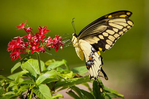 The Schaus Swallowtail