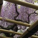 藤 Wisteria floribunda