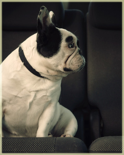 French bulldog stare   by marneejill