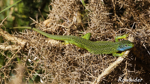 Lézard - Lacerta bilineata | by Rowhider