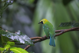 The blue-winged leafbird (Chloropsis cochinchinensis) | by surferjaws