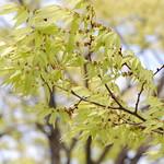 ケヤキ雄花 Japanese zelkova (male flowers)