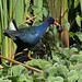 Purple Gallinule por cjlloyd2078