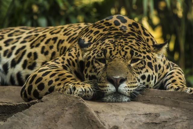 Jaguar(4may17) (8)