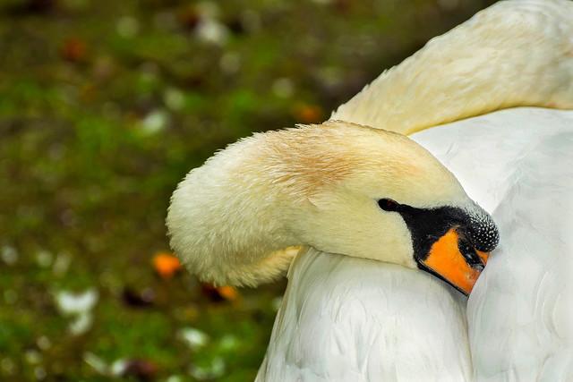 Cisne durmiendo parque san francisco oviedo