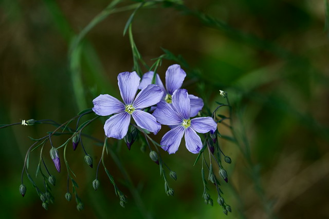 Blaue Wiesenblume