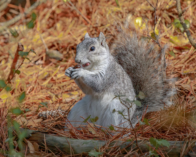 Delmarva Fox Squirrel with Num Nums