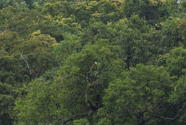 Brahmini Kite in the canopy