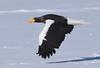 A Steller's sea eagle flying over a frozen lake by takashi muramatsu