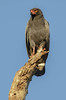 Slate-colored Hawk by Curcino, Alexandre