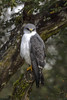 Variable Hawk -Aguilucho (Geranoaetus polyosoma) Quellón, Chiloé Island, Chile 2017 by Ricardo Bitran