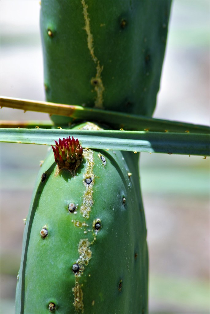 20170510 New Pad with red ephemeral leaves on a (Luther) Burbank Prickly Pear Cactus