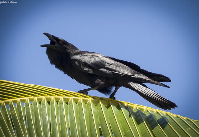 Corvus leucognaphalus