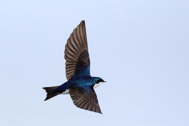Hirondelle bicolore -------  Tree swallow -------     Golondrina bicolor
