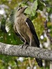 Milvago chimachima by Wildlife and nature - Colombia