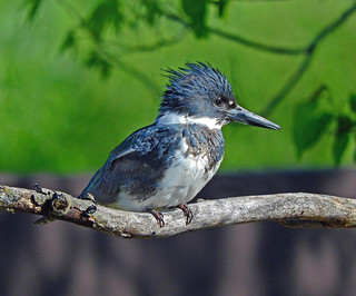---Kingfisher-Belted-Male-MO   by Tricolor Brian