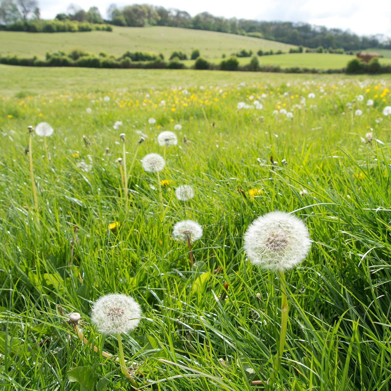 Dandelions Cuxton Circular