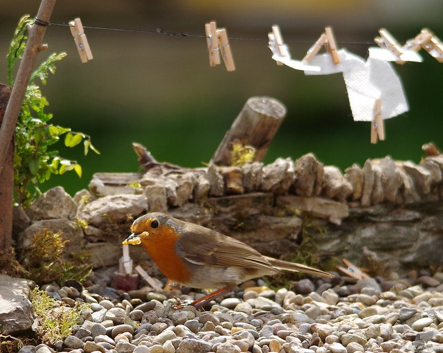 robin on gravel with meal worms