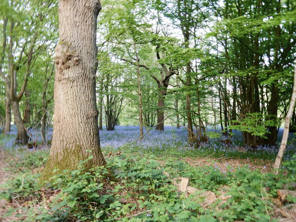 Bluebells with tree Cuxton Circular
