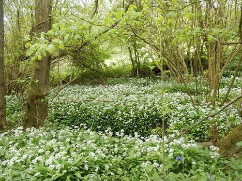 Wild garlic Hever to Ashurst