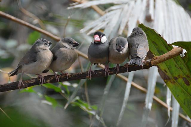 Java Finches (Lonchura oryzivora).