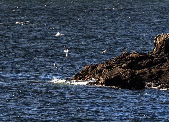 Gannet diving , Alderney