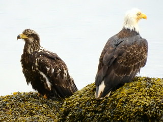 may 11 2017 11:27 - young Eagle & adult Eagle | by boonibarb