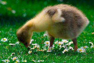 gosling,1 (1 of 1)