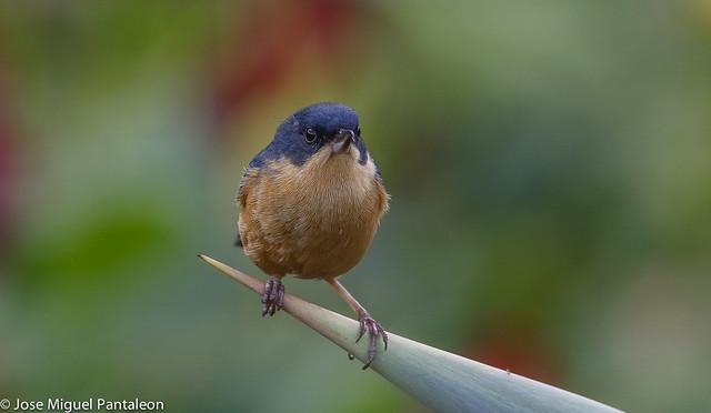 8-El diglosa payador (Diglossa sittoides) es una especie de ave de la familia Thraupidae. También es conocido por Payador o Payador canela (Argentina), Picaflor Canela (Colombia), Roba Néctar Payador.