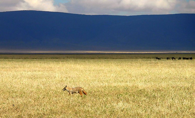AFRICAN FOX FOLLOWING THE TREK ANIMALS.  THE PINK HAZE ON THE HORIZON ARE FLAMINGOES.