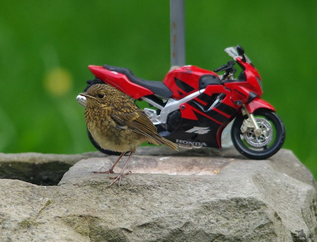 baby Robin uk - son of rambo