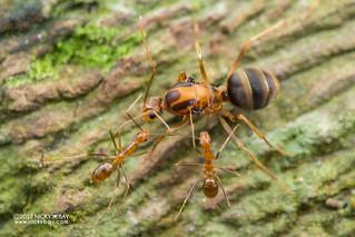 Yellow crazy ants (Anoplolepis gracilipes) - DSC_4211