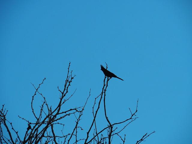 Q3246404 Joshua Tree Visitor center Oasis of Mara phainopepla