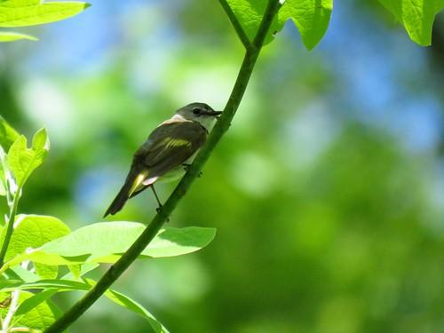 American Redstart   by Justin Lee (NoNameKey)