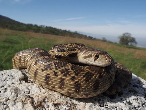 Pacific Gophersnake (Pituophis catenifer catenifer) | by NicholasHess