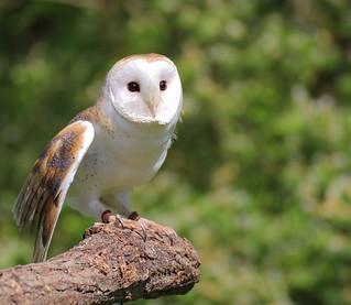 raptorinc-Barn Owl