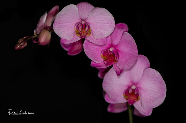 Pink Orchids - Explored 05/19/17
