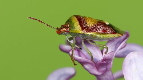 Banasa Stink Bug - Banasa dimiata