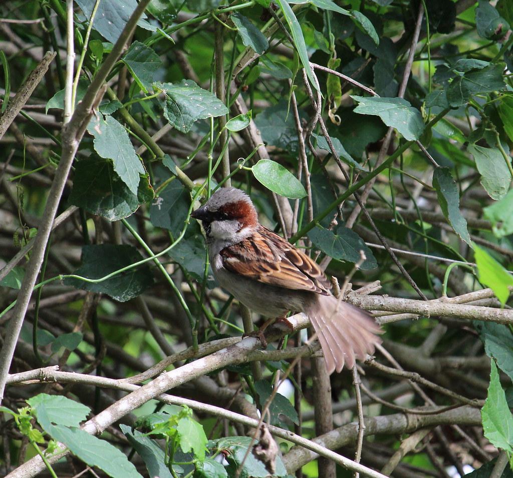 House Sparrow       Estero Llano Grande State Park