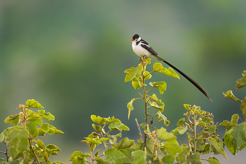 Pin-tailed Whydah | by RawComposition