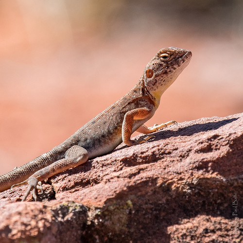 Central Netted Dragon | by PaulBalfe