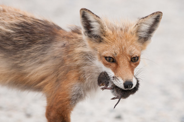 What Did the Fox Eat?