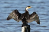 Little Pied Cormorant Phalacrocorax  melanoleucos by Neil Cheshire