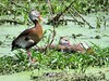 Black-bellied Whistling-Duck (Dendrocygna autumnalis) by Gerald (Wayne) Prout