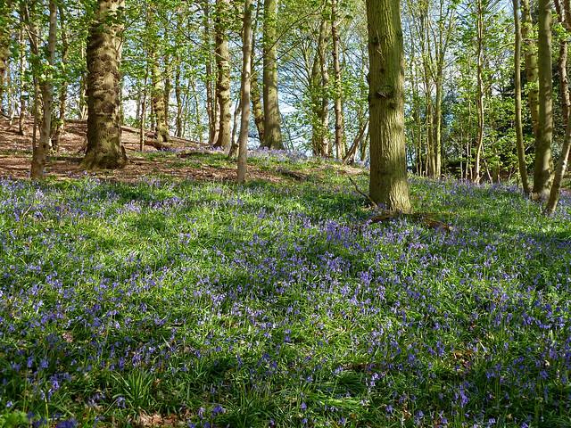 Dollops Wood bluebells