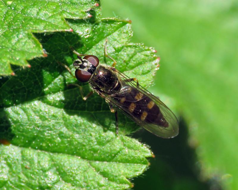 Platycheirus scutatus agg.