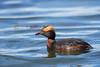 Slavonian Grebe by george.julin