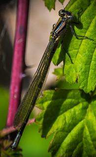 damsel fly (1 of 1)