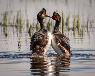 Eared Grebe Courting Display | by Becky Matsubara