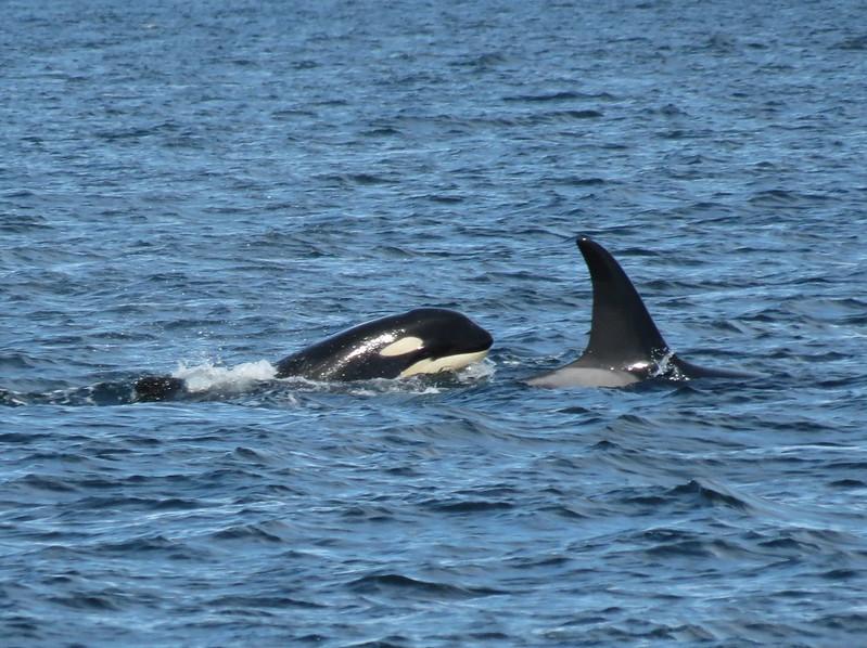Orca, Haida Gwaii, British Columbia Canada